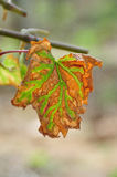 Foglie dell'uva Fotografie Stock