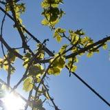Foglie dell'uva Fotografie Stock Libere da Diritti