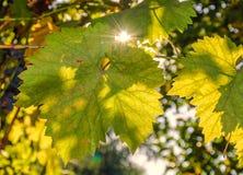 Foglie dell'uva nei raggi del sole di autunno al tramonto Immagine Stock Libera da Diritti