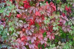 Foglie dell'uva selvaggia nel giardino Priorità bassa dei fogli dell'uva fotografie stock libere da diritti