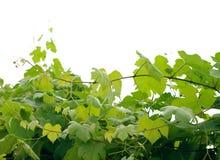 Foglie dell'uva su un ramo Immagini Stock Libere da Diritti