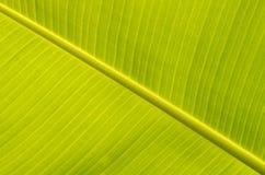 Foglie della banana Immagini Stock