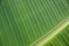Foglie della banana fotografia stock libera da diritti