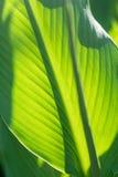 Foglie della banana Fotografia Stock