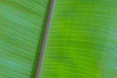 Foglie della banana, la Tailandia e fondo verde Immagine Stock