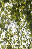 Foglie della betulla Immagine Stock
