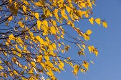 Foglie della betulla Fotografia Stock