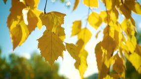 Foglie della betulla di autunno su una fine del vento su stock footage