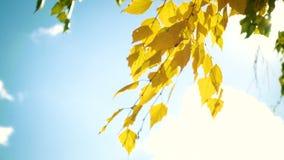 Foglie della betulla di autunno su una fine del vento su archivi video