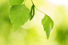Foglie della betulla di estate Fotografia Stock