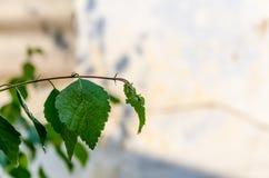 Foglie della betulla dopo pioggia Fotografia Stock Libera da Diritti