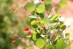 Foglie della betulla in foresta Fotografia Stock