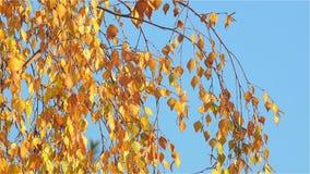 Foglie della betulla gialla che ondeggiano nel Sun di novembre di pomeriggio archivi video