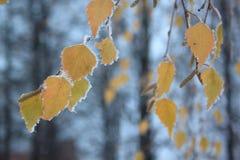 Foglie della betulla gialla coperte di neve e di brina immagine stock
