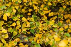 Foglie della betulla nel colore di autunno Immagini Stock