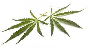 Foglie della cannabis Fotografia Stock Libera da Diritti