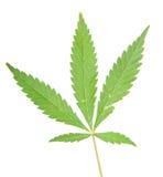 Foglie della cannabis Immagini Stock