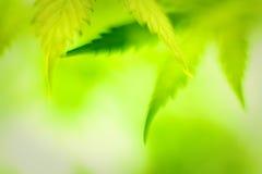Foglie della cannabis Fotografia Stock