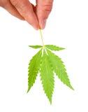 Foglie della cannabis in una mano Fotografia Stock