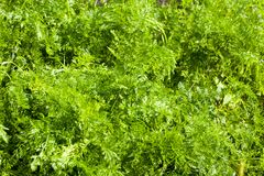 Foglie della carota in natura Fotografie Stock