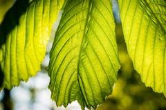 Foglie della castagna evidenziate da luce solare Fotografia Stock Libera da Diritti