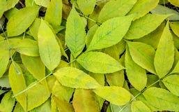 Foglie della cenere gialla e verde fotografia stock libera da diritti