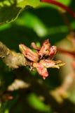Foglie della ciliegia attaccate dagli afidi Immagini Stock Libere da Diritti