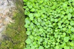 foglie della cola di gotu Fotografia Stock Libera da Diritti