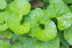 foglie della cola di gotu Fotografie Stock