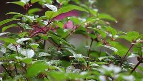 Foglie della fucsia in pioggia video d archivio