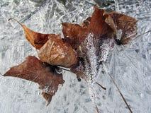 Foglie della gelata Fotografie Stock Libere da Diritti