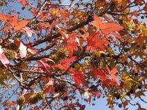 Foglie della gomma dolce in autunno Immagini Stock