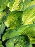 Foglie della hosta decorativa della pianta (Funkia) Immagine Stock