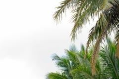 Foglie della noce di cocco Immagine Stock Libera da Diritti