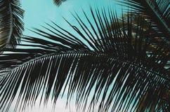 Foglie della noce di cocco Immagine Stock