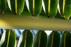 Foglie della palma Fotografia Stock Libera da Diritti