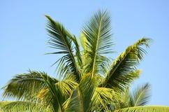 Foglie della palma contro il cielo blu Fotografie Stock Libere da Diritti