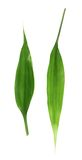 Foglie della palma isolate Fotografia Stock