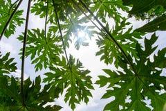 Foglie della papaia Fotografia Stock