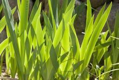 Foglie della pianta accese parte posteriore Immagini Stock Libere da Diritti