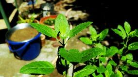 Foglie della pianta del basilico a mia casa Immagine Stock