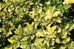 Foglie della pianta del Croton Immagini Stock Libere da Diritti