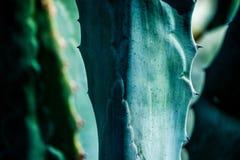 Foglie della pianta dell'agave immagini stock libere da diritti