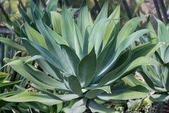 Foglie della pianta dell'agave Immagine Stock