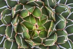 Foglie della pianta dell'agave Fotografie Stock Libere da Diritti