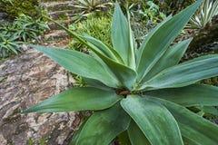 Foglie della pianta dell'agave Fotografia Stock