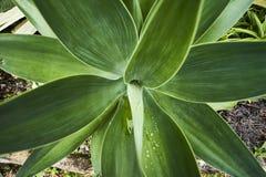 Foglie della pianta dell'agave Immagini Stock