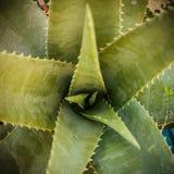 Foglie della pianta dell'aloe Fotografia Stock Libera da Diritti