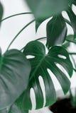 Foglie della pianta di Monstera filodendro Fotografia Stock