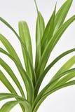 Foglie della pianta di Pandan Feash Fotografia Stock
